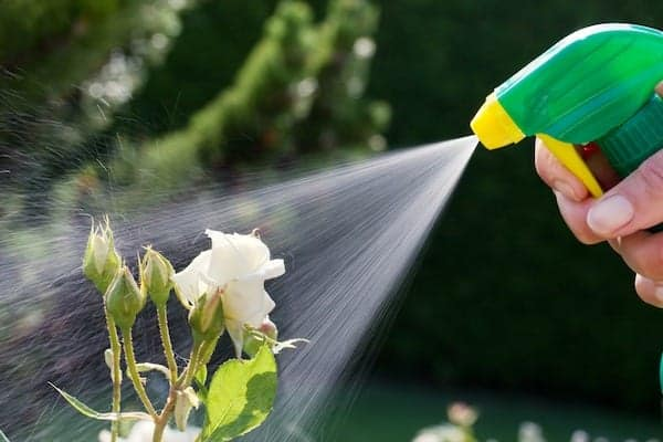 roses in a garden are sprayed with a aphid spray
